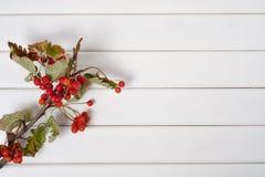 На ветви красного rowanberry ягод Стоковое Изображение RF