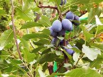 на ветви слив вида дерева зрелых Стоковое фото RF