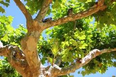 На ветви явора и пальмах сидите 2 голубя Стоковая Фотография RF