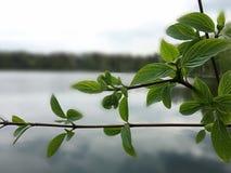 над водой листьев Стоковые Изображения RF