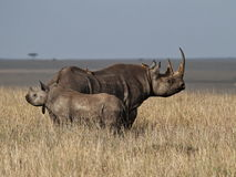 Надежда для черного носорога Стоковое Изображение