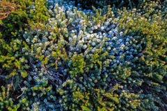 Налет инея на заводе вереска в зиме Стоковые Фото