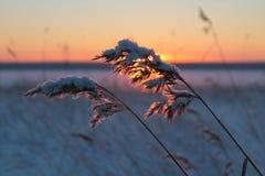 Налет инея на тростнике в ландшафте зимы Стоковые Изображения