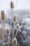 Налет инея на Thistles Стоковая Фотография RF