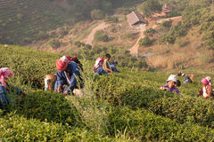На женщинах горных склонов этнической группы Akha, жать листья чая Стоковое фото RF