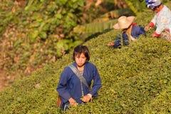 На женщинах горных склонов этнической группы Akha, жать листья чая Стоковые Фото