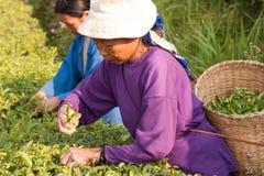 На женщинах горных склонов этнической группы Akha, жать листья чая Стоковое Изображение RF