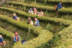 На женщинах горных склонов этнической группы Akha, жать листья чая Стоковые Изображения