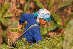 На женщинах горных склонов этнической группы Akha, жать листья чая Стоковое Фото