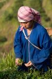 На женщинах горных склонов этнической группы Akha, жать листья чая Стоковое Изображение