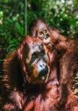 На задней части ` s мамы Cub орангутана на задней части ` s матери в зеленом тропическом лесе Стоковое Изображение