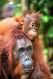 На задней части ` s мамы Cub орангутана на задней части ` s матери Стоковое Изображение RF