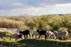 На заходе солнца овцы идут вдоль промоины стоковые фото