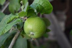 На зеленом цвете дерево весит одно свежее яблоко с листьями стоковые изображения