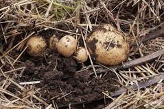 Надземный взгляд конца-вверх свеже выкопанных новых белых золотых картошек различных размеров в домашнем саде Стоковые Изображения