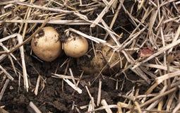 Надземный взгляд конца-вверх свеже выкопанных новых белых золотых картошек различных размеров в домашнем саде Стоковая Фотография RF