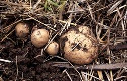 Надземный взгляд конца-вверх свеже выкопанных новых белых золотых картошек различных размеров в домашнем саде Стоковые Изображения RF