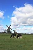 На зеленой пасти траве коровы Стоковые Изображения