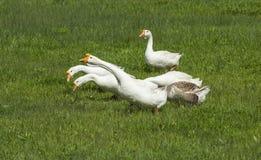 На зеленом цвете, белые гусыни Стоковые Фото