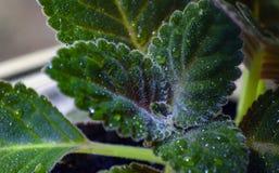На зеленых пушистых листьях, падения воды сверкают Стоковая Фотография