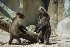 На зоопарке 2 любимчики бурого медведя ждут посетителей идя вокруг журнала Стоковое Фото