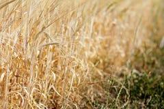 На краю поля зерна в лете Стоковое Изображение