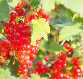 На кусте ветви ягоды зрелая красная смородина стоковая фотография rf