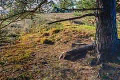 На дне леса под scots сосной стоковые изображения rf