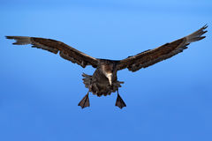 над океаном летания птицы темным раскройте крыла чайки Птица в полете Гигантский буревестник, большая птица моря на небе птица в  Стоковое Фото