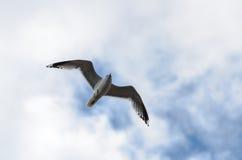 над океаном летания птицы темным раскройте крыла чайки Стоковые Изображения