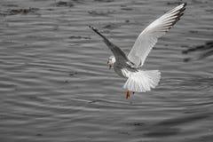 над океаном летания птицы темным раскройте крыла чайки Стоковые Фото
