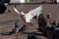 над океаном летания птицы темным раскройте крыла чайки Стоковая Фотография