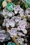 На открытом воздухе пурпурный мини суккулентный сад стоковые фотографии rf