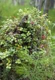 На пне дерева растет клюквы стоковая фотография rf