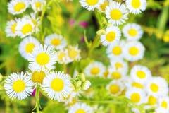 На поле с белыми одичалыми camomiles Стоковые Фото