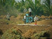 На работе на сборе арахиса Стоковое Изображение