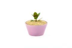 На семени сезама растет цветок в чашке Стоковое фото RF