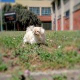 на утре поздним летом собака Pekingese, под лучами солнца которые освещают его стоковые фото