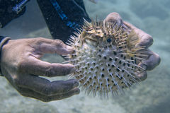 Надутые рыбы рыб скалозуба дикобраза Стоковые Изображения RF