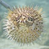 Надутые рыбы шарика дикобраза стоковые изображения rf