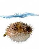 Надутый - вверх по blowfish стоковая фотография rf