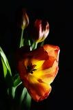 Надутый красный тюльпан на темноте Стоковое Изображение RF