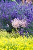 Надушенные цветки лаванды Стоковые Изображения RF
