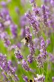 Надушенные цветки лаванды Стоковые Фотографии RF