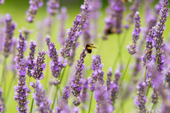 Надушенные цветки лаванды Стоковое Изображение