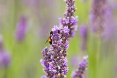 Надушенные цветки лаванды Стоковые Фото