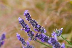 Надушенные цветки лаванды Стоковое Изображение RF