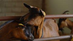 На ферме козы, козы в загоне сток-видео