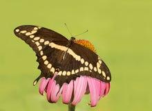 Надфюзеляжный взгляд гигантской бабочки Swallowtail Стоковое фото RF