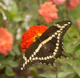 Надфюзеляжный взгляд papilio Cresphontes, бабочки Swallowtail гиганта Стоковое фото RF